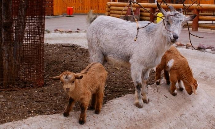 Случка карликовых камерунских коз
