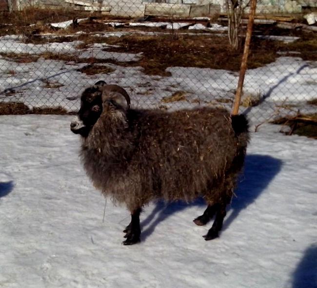 Придонские лохматые козы