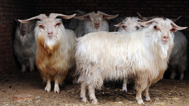 Пуховое стадо коз