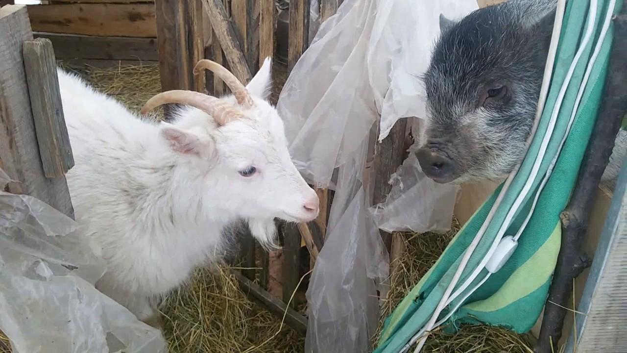 Содержание белых коз