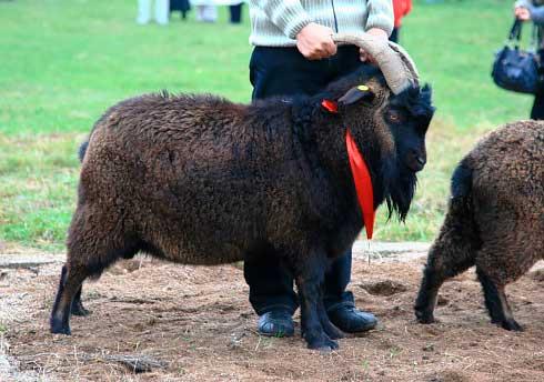 Внешний вид придонских коз