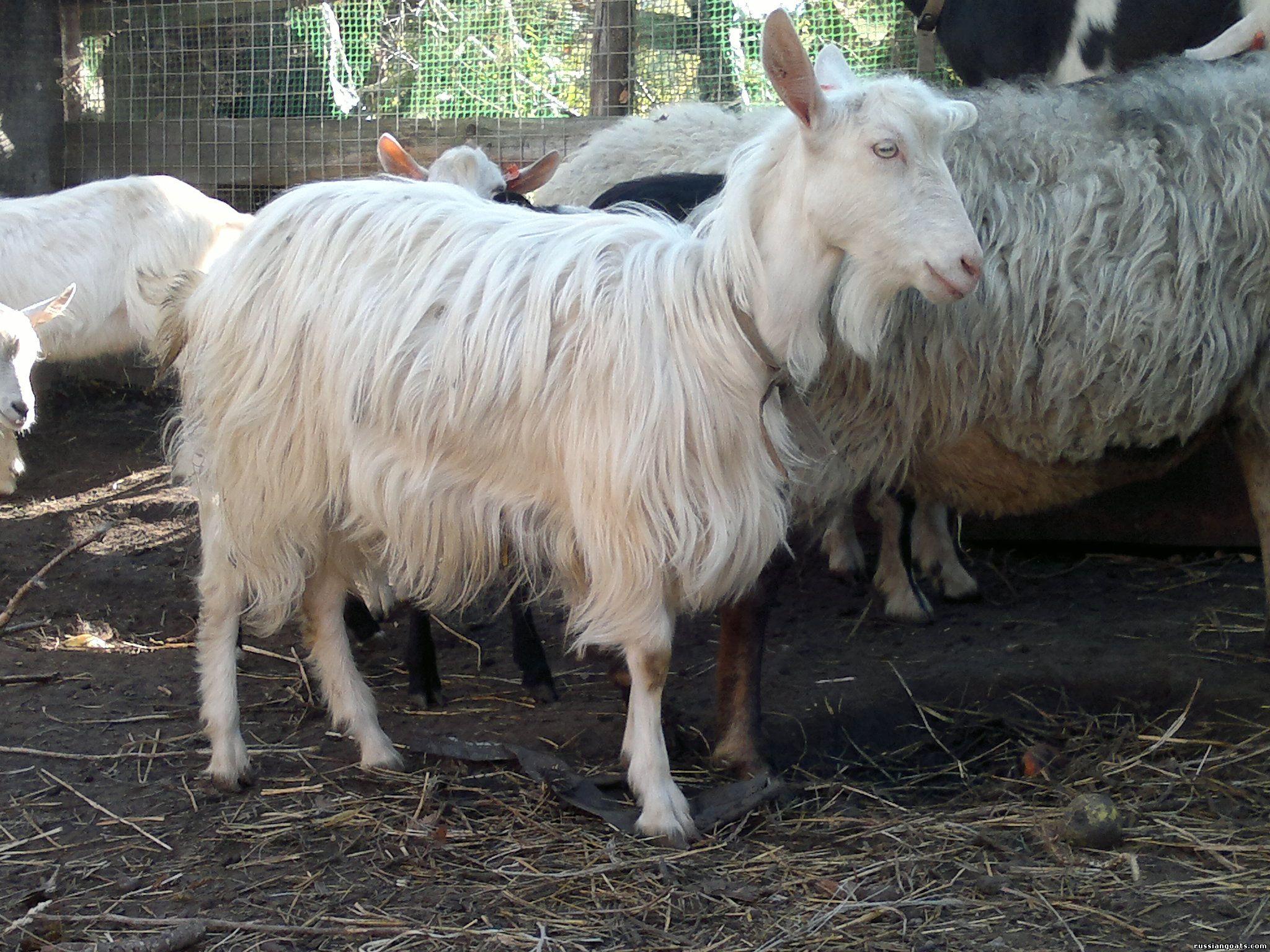 Где купить коз