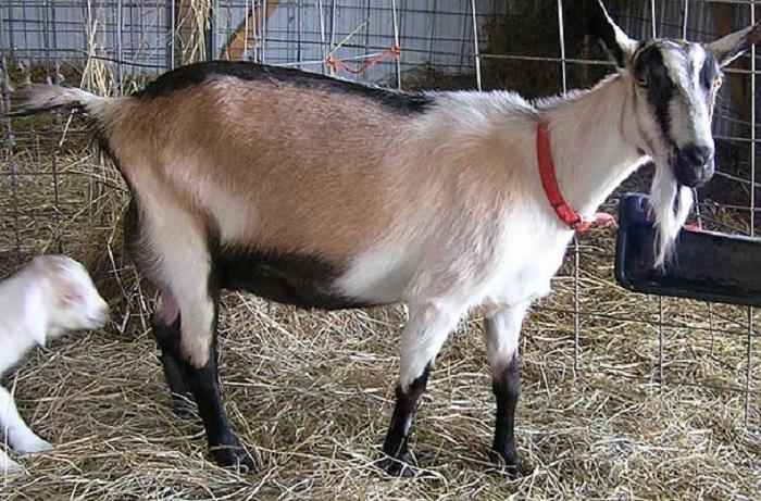 Характеристики альпийских коз