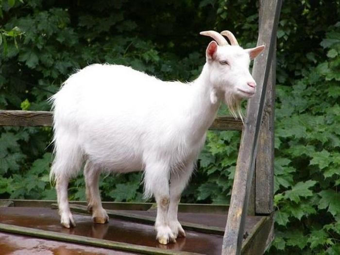 Внешний вид козы