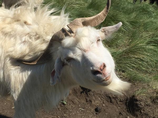Бородатые пуховые козы