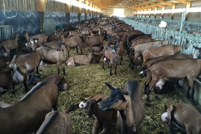 Племенное хозяйство альпийских коз