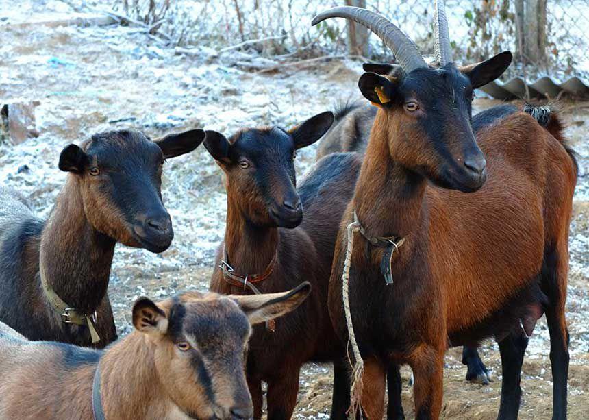 Чешские козлята