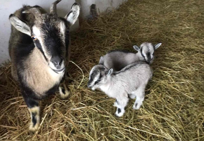 Особенности содержания карликовых коз