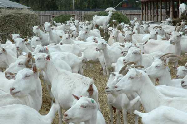 Стадо белых коз