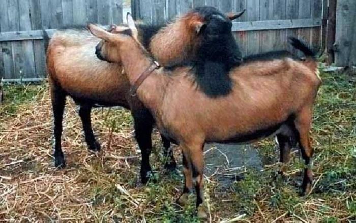 Случка чешских коз