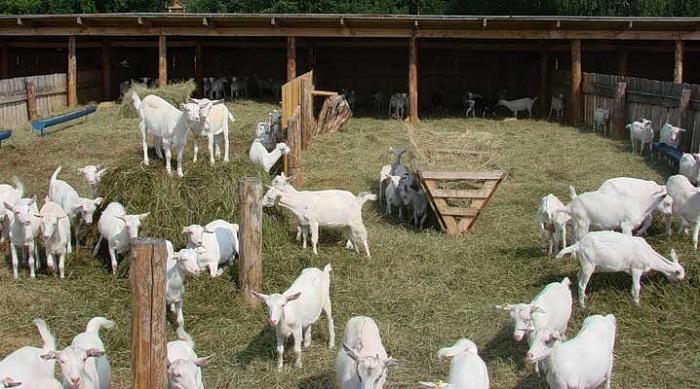 Питомники зааненских коз