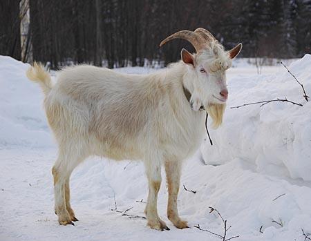 Чистопородная коза
