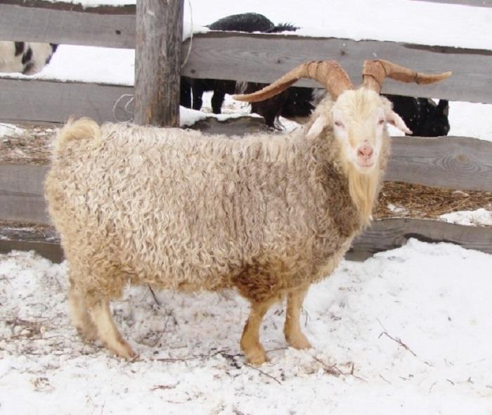Чистопородная ангорская коза