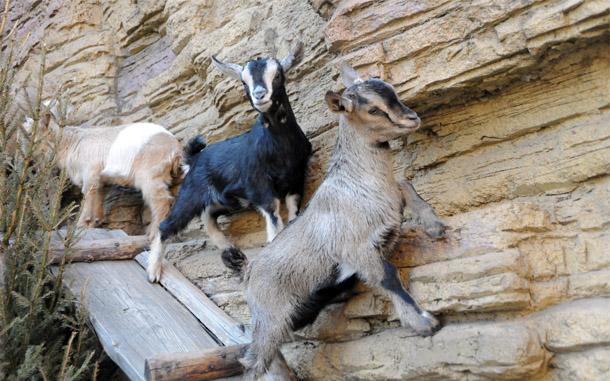 Чистопородные козлята