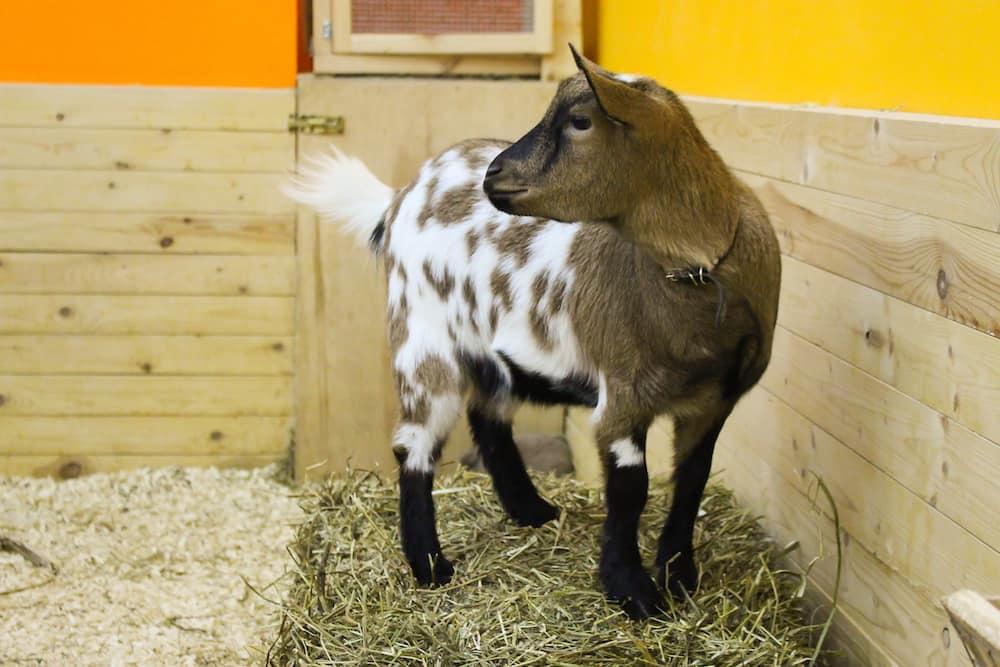 Питомник карликовых коз