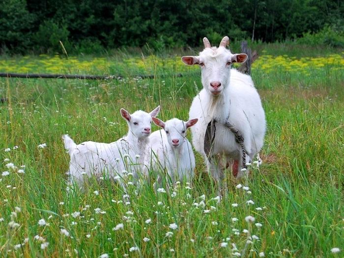 Коза с козлятами на лугу