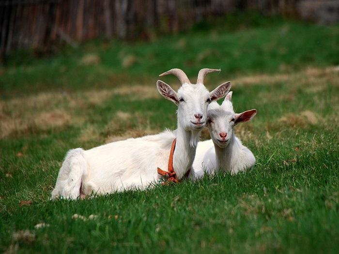 Козел и коза отдыхают