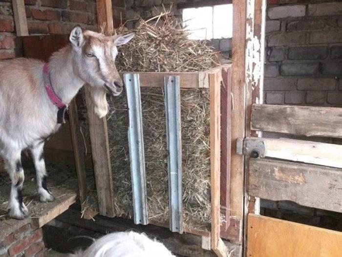 Коза у кормушки с сеном