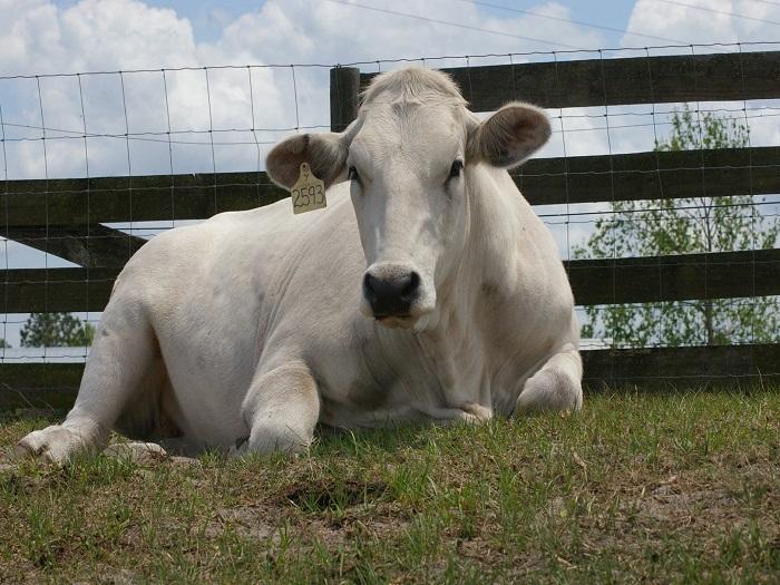 Уход за Кианской породой коров