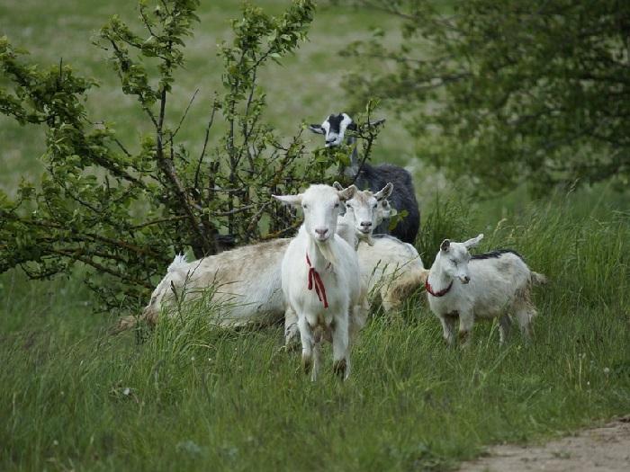 Изображение коз в траве