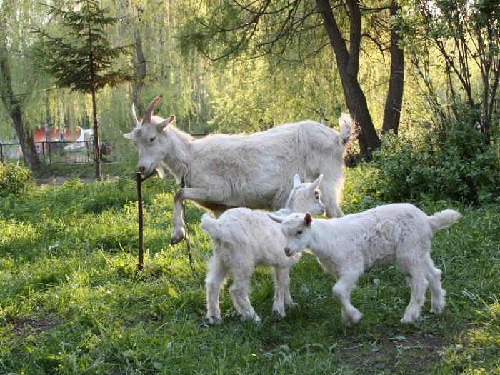 Изображение козы с маленькими козлятами