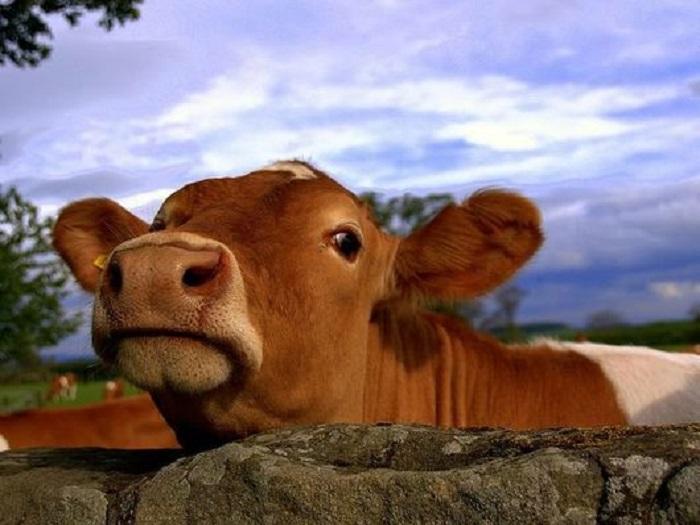 Содержание коров Йоркширской породы