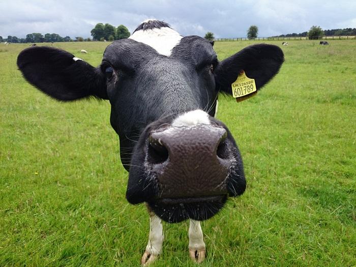 Корова смотрит в камеру