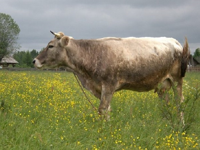 Корова костромской породы на лугу