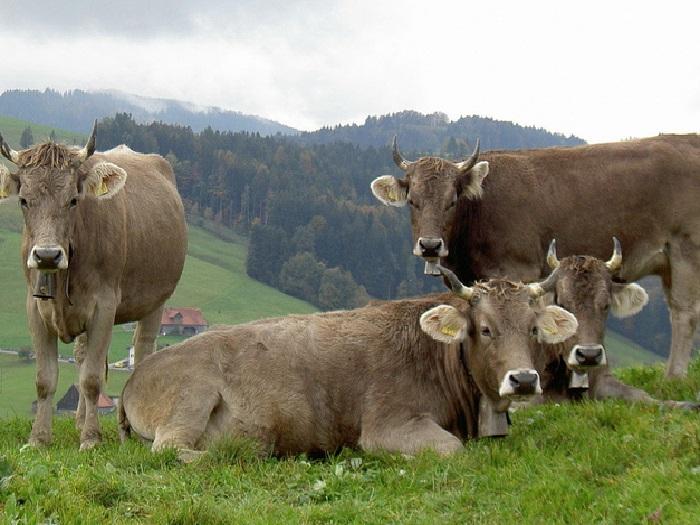 Коровы швицкой породы на лугу в горах