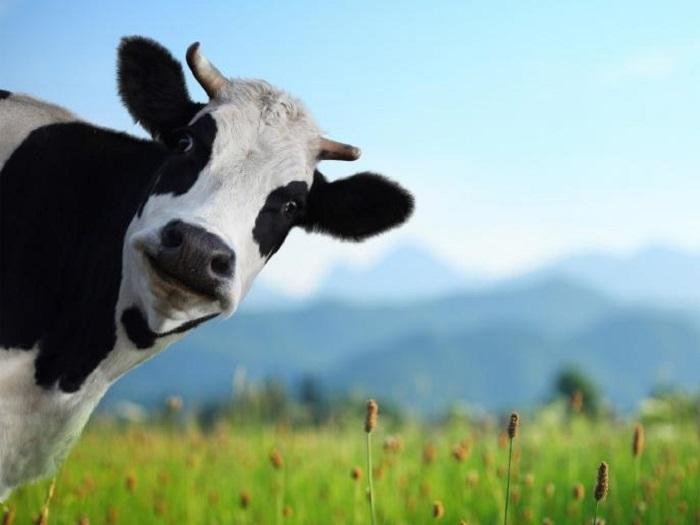Корова выглядывает из-за угла