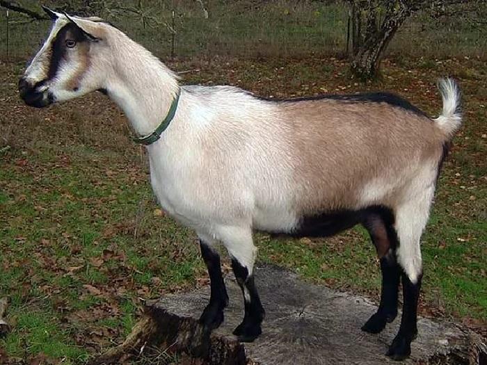 Коза Альпийской породы