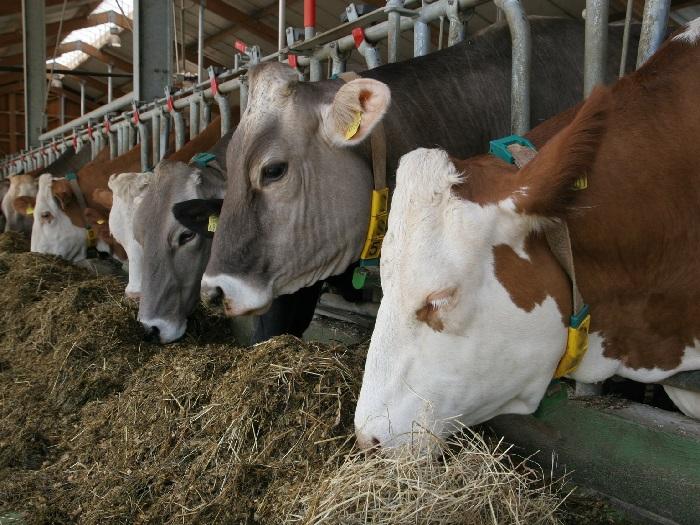 Изображение коров поедающих сено