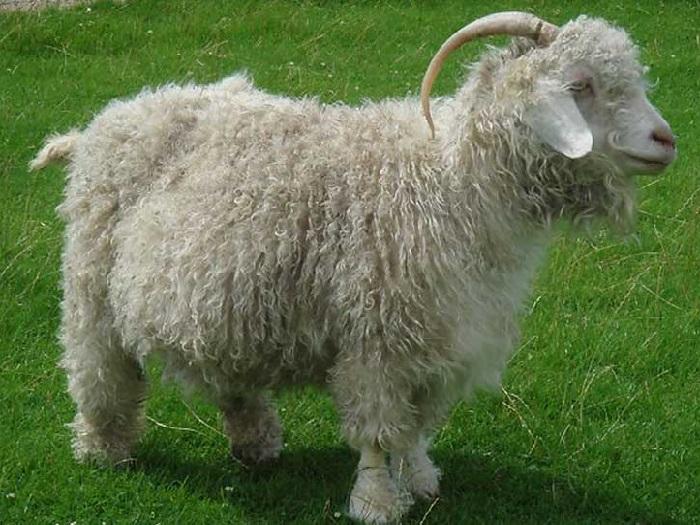 Коза Алтайской породы