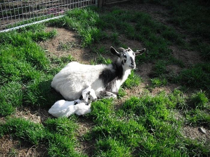 Коза с козленком породы Кико