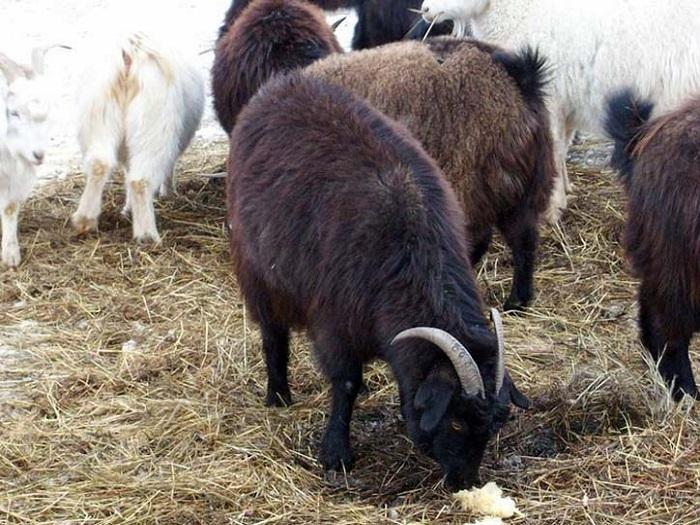 Стадо коз Оренбургской породы