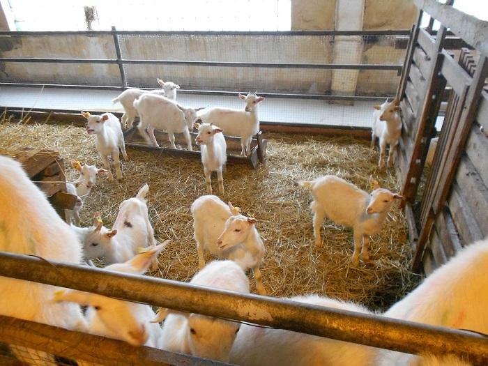 Козы зимой в козлятнике