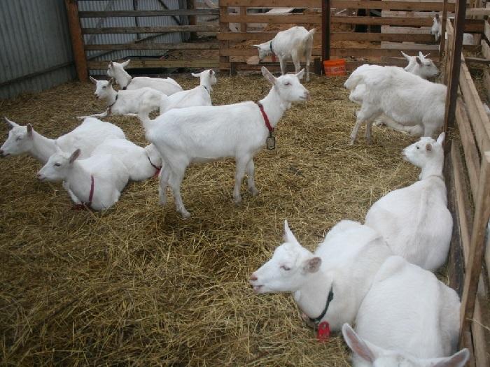 Изображение Зааненских коз в загоне