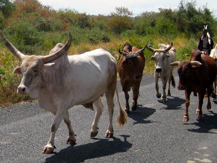 Стадо коров породы Зебу