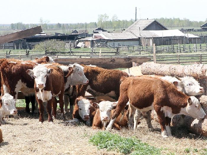 Казахская порода коров на ферме