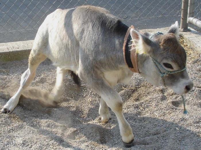 Беломышечная болезнь у теленка