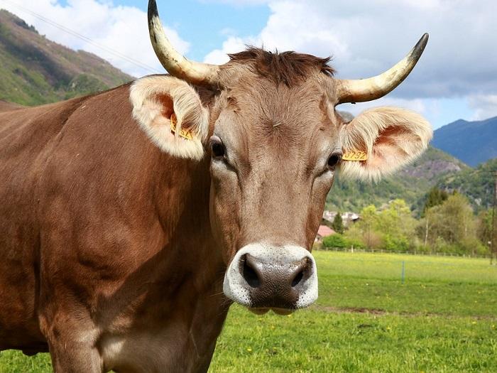 Корова позирует перед камерой