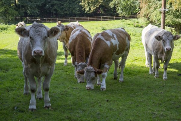 Изображение стада коров на лугу