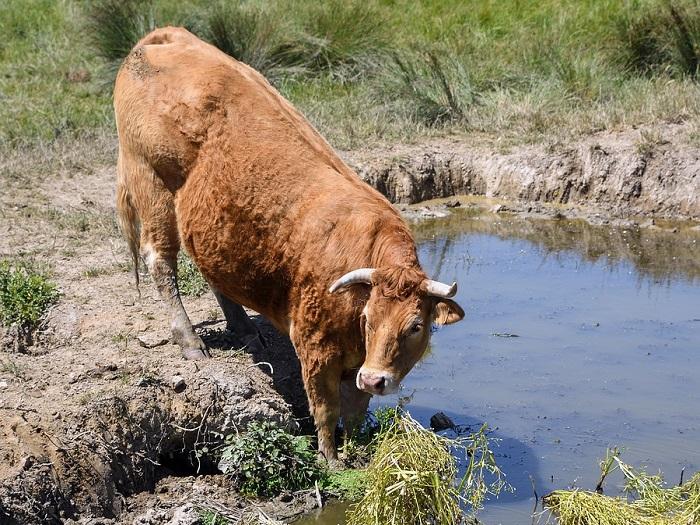 Изображение коровы лимузинской породы на водопое