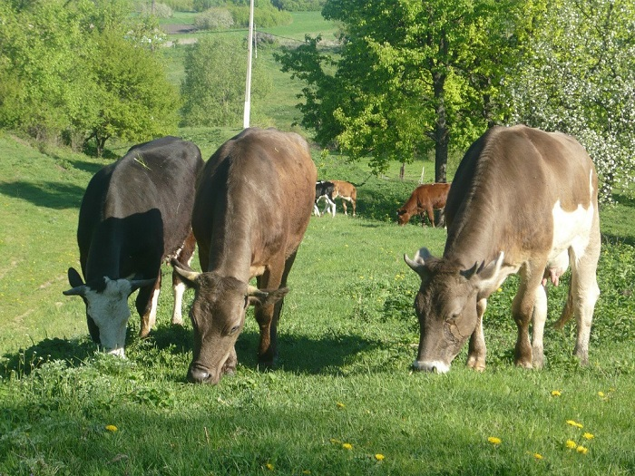 Изображение пасущихся коров швицкой породы