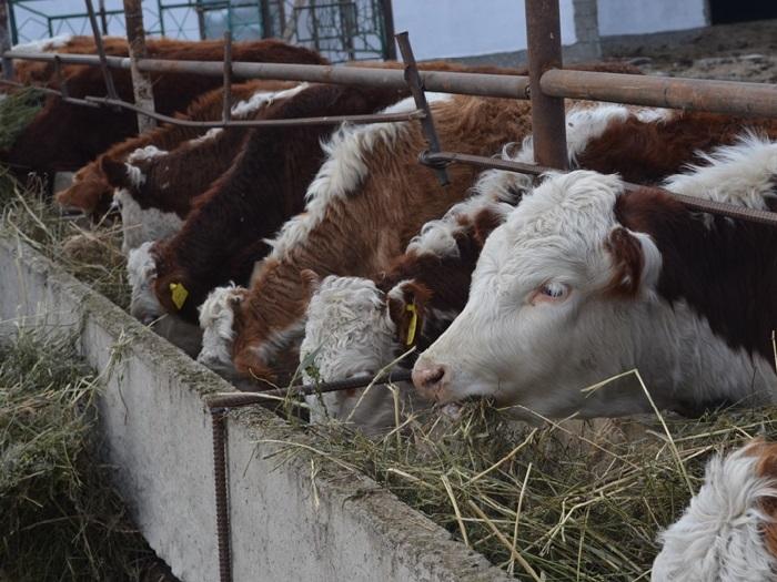 Белоголовые коровы питаются