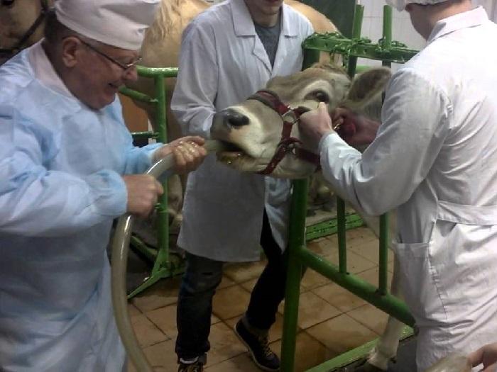 Зондирование коровы