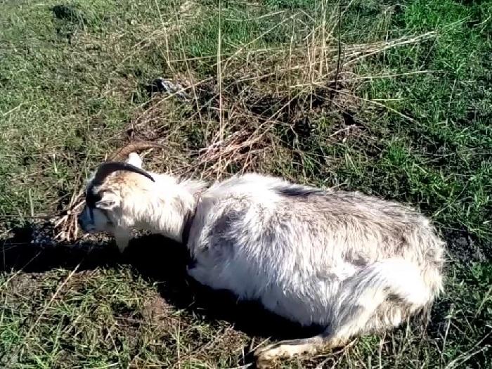 Интоксикация у козы