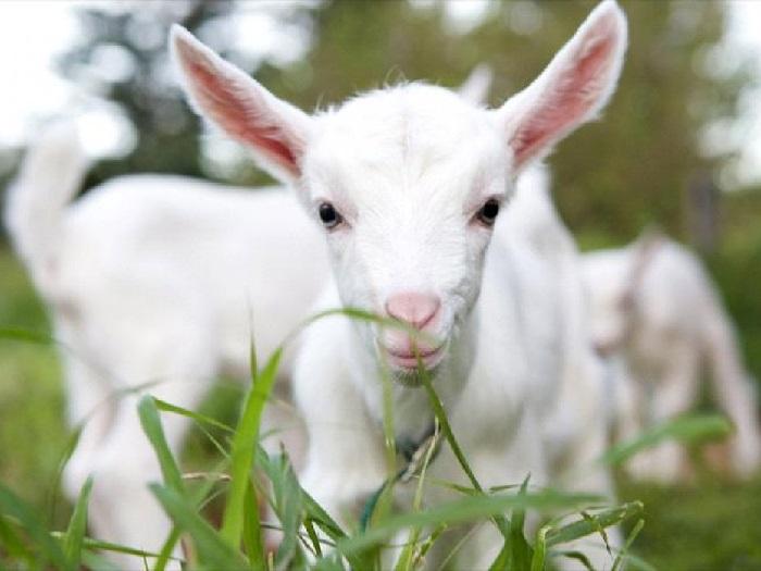 Молодая коза Русской породы
