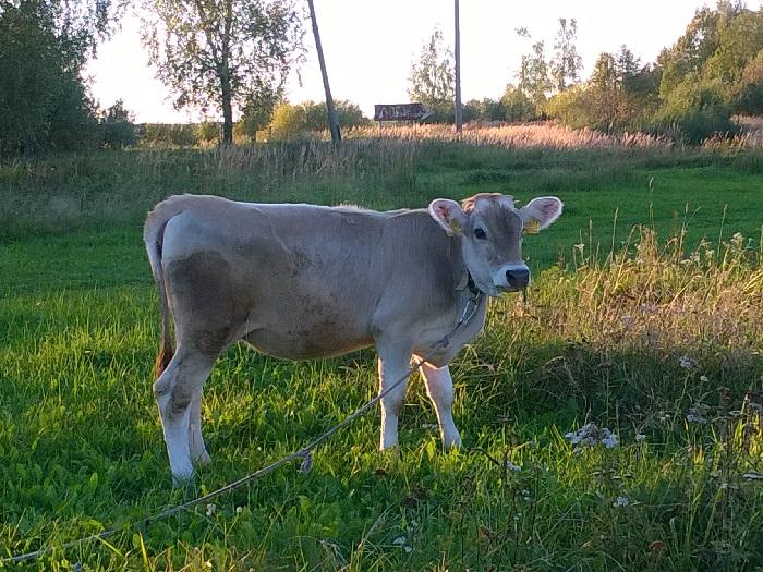 Маленький теленок швицкой породы пасется