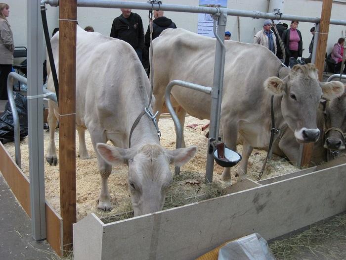 Коровы костромской породы на выставке